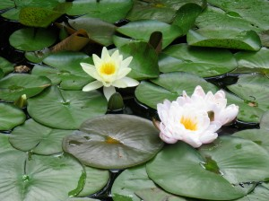 Picture of Water Lilies in a Pond