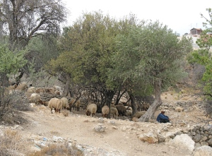 Shepherd with sheep in Beit Sahour