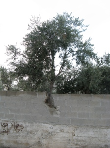 tree growing through a concrete wall at Aida Camp